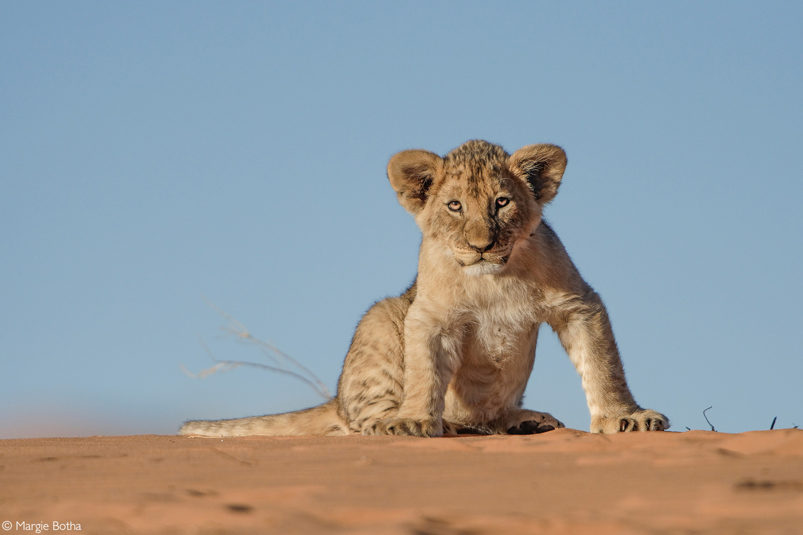A very curious lion cub on a red dune. Kgalagadi Transfrontier Park, South Africa © Margie Botha