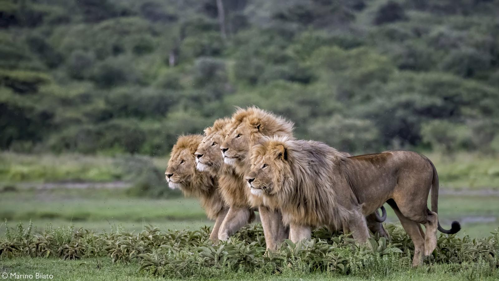 A coalition of lions intently focus on potential prey. Ndutu, Ngorongoro Conservation Area, Tanzania © Marino Bilato