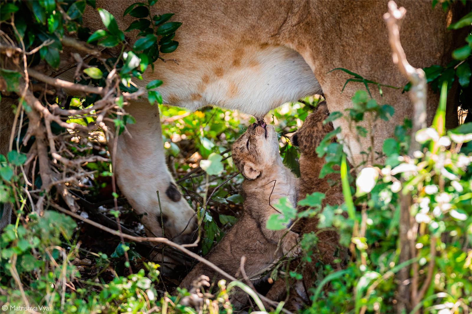 Week-old lion cubs suckle from their mother. Maasai Mara National Reserve, Kenya © Matrishva Vyas
