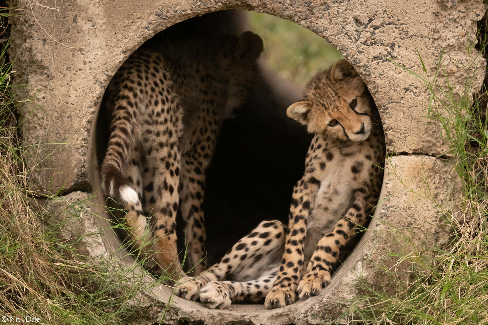 A cheetah cub rests against the curved wall of a concrete pipe. Maasai Mara National Reserve, Kenya © Nick Dale
