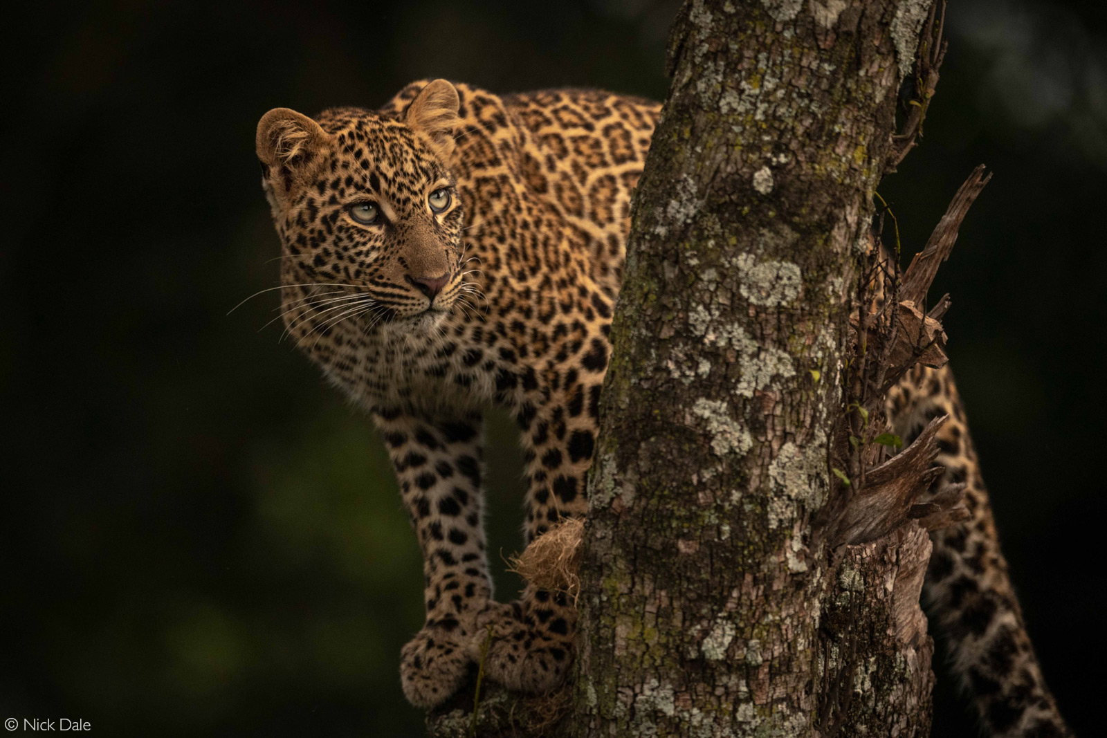 A leopard sits in the forked trunk of a tree. Serengeti National Park, Tanzania © Nick Dale