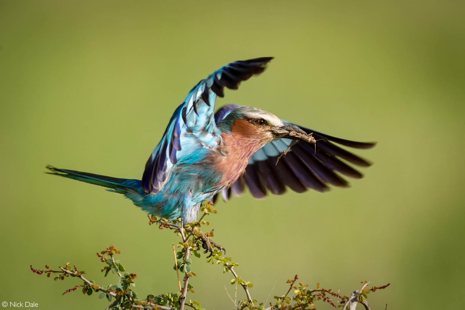 A lilac-breasted roller carrying a dead grasshopper in its beak lifts its wings to take off. Tarangire National Park, Tanzania © Nick Dale