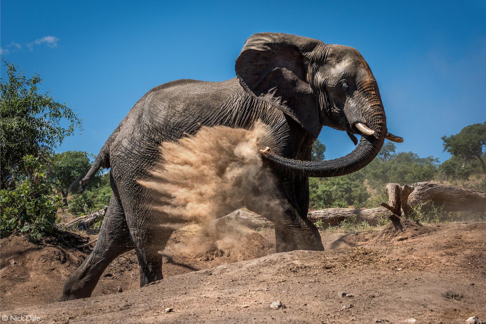 An elephant takes a dust bath. Chobe National Park, Botswana © Nick Dale