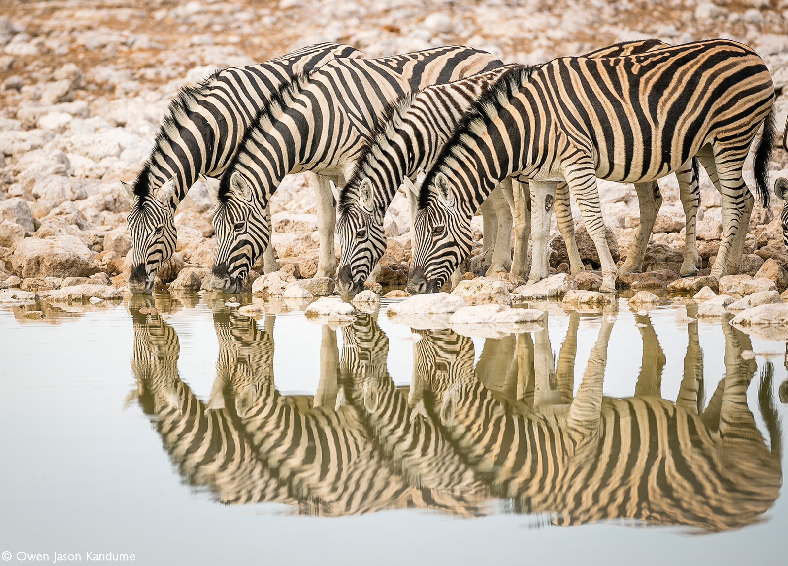 Zebra drinking in the early morning at Okaukuejo waterhole. Etosha National Park, Namibia © Owen Jason Kandume