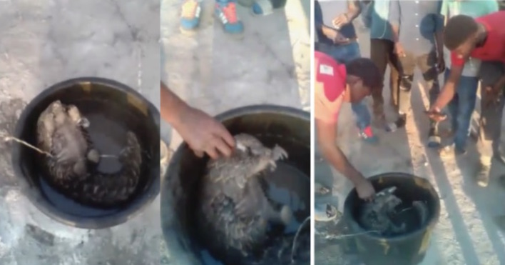 Screengrabs from the video of a pangolin being placed in a pot with boiling water poured over it,