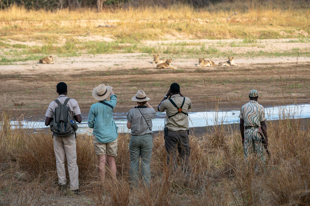 Guests on walking safari watching lions in South Luangwa National Park in Zambia