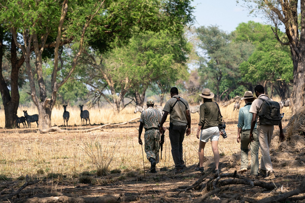 Guests on walking safari with zebras in background in South Luangwa National Park in Zambia
