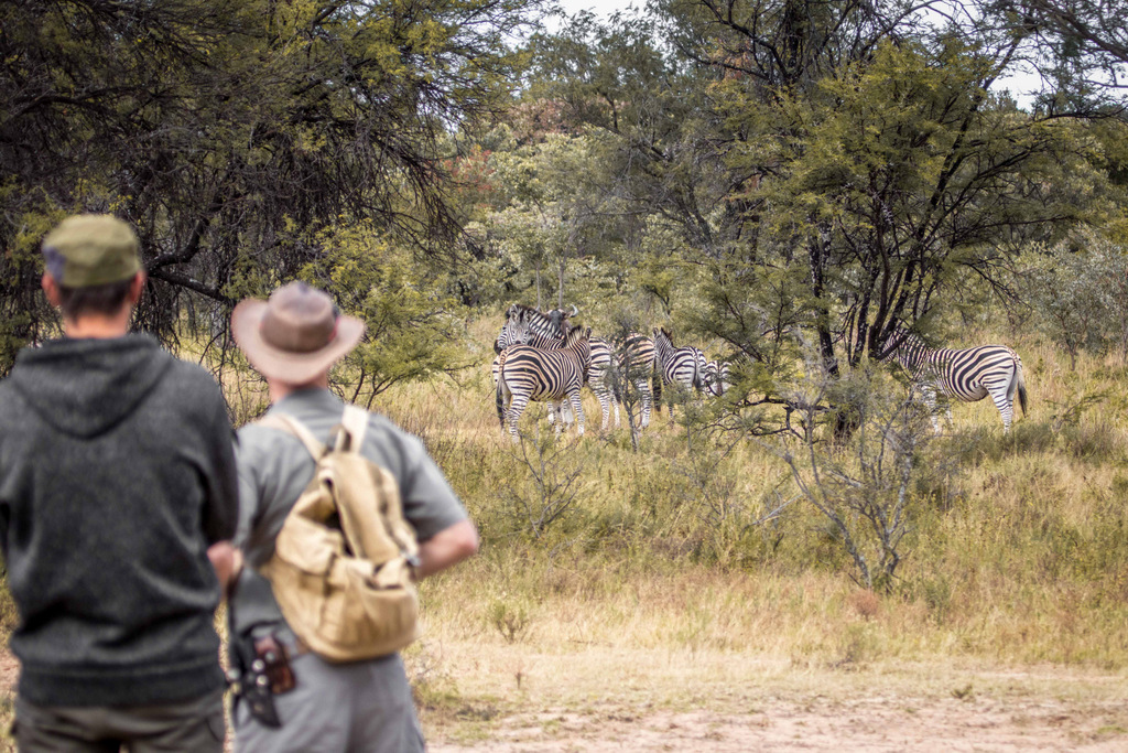 Guests watching zebra from a distance in the wild