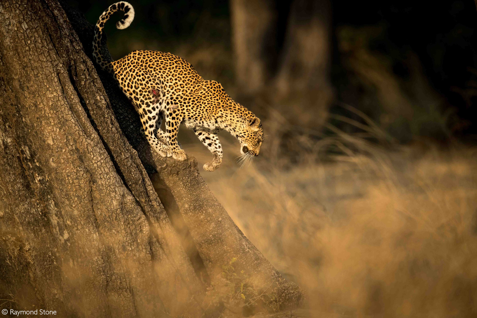 A leopard descends a large tree. South Luangwa National Park, Zambia © Raymond Stone