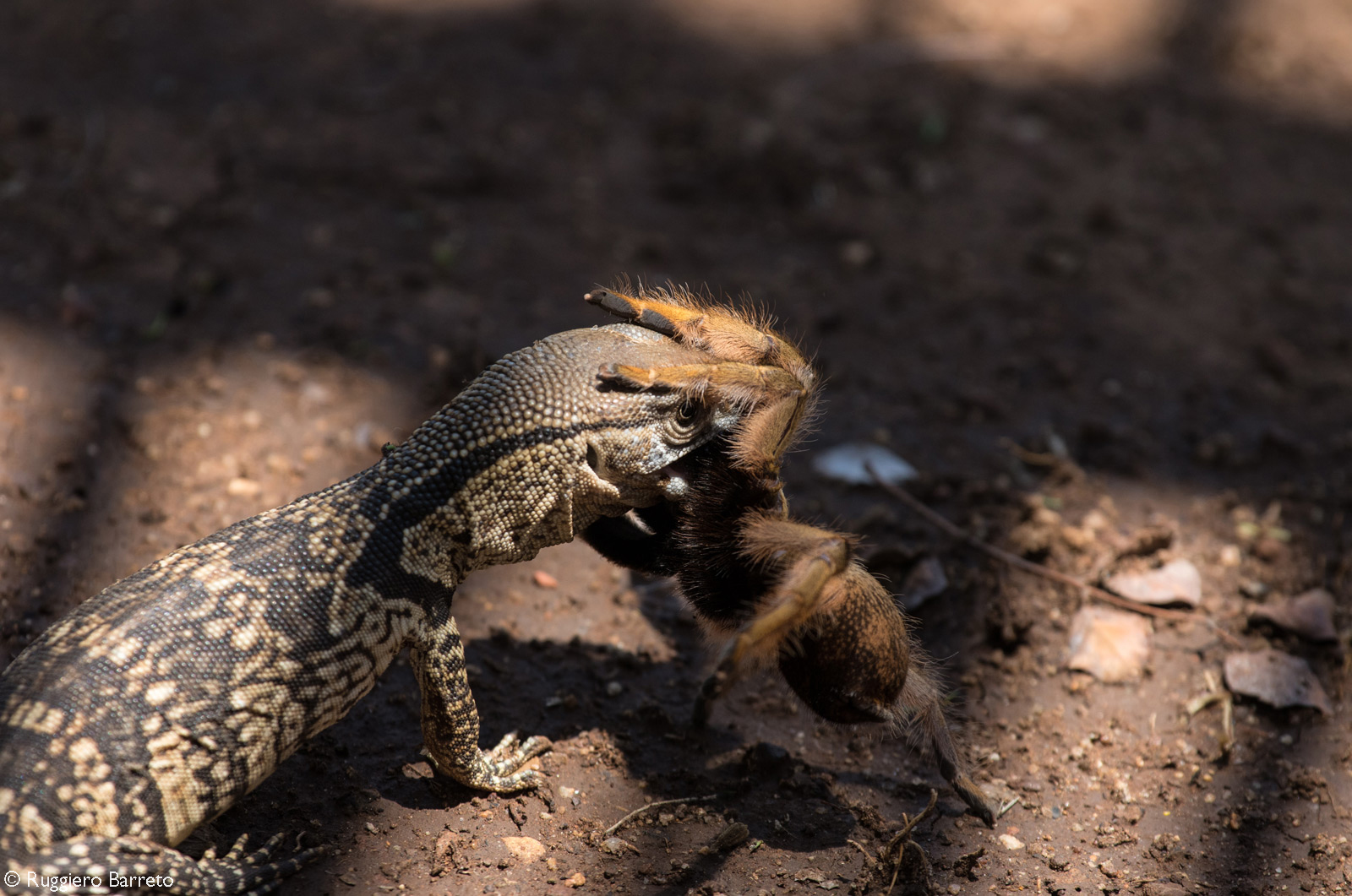 A battle between a small monitor lizard and a baboon spider. After about 15 minutes the lizard eventually took control and overpowered the spider and carried it off. Kruger National Park, South Africa © Ruggiero Barreto