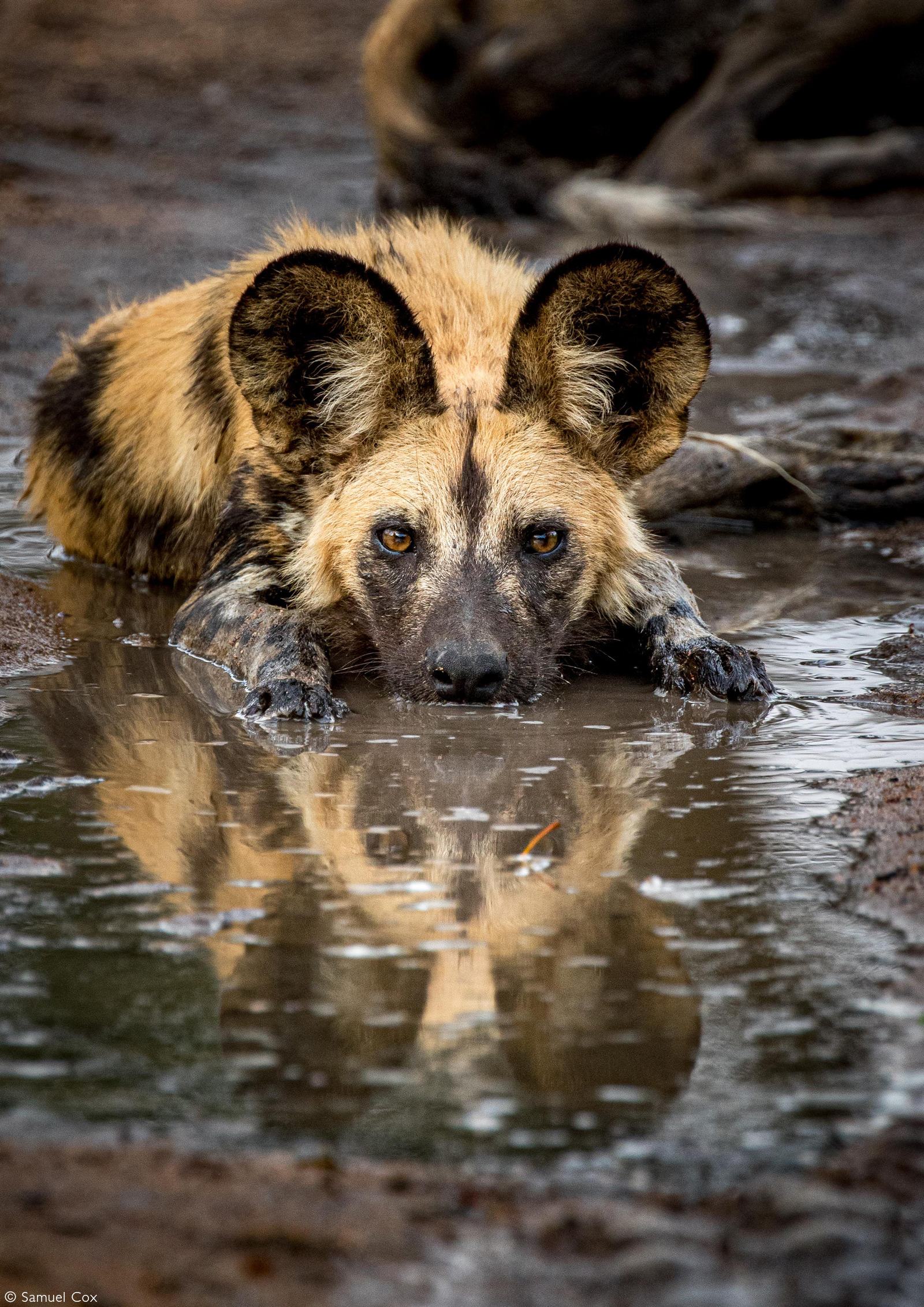 A painted wolf (African wild dog) takes a short break from running in the harsh summer heat, and takes a dip in a muddy puddle to cool down. A moment of brief tranquillity before jumping back up to join the nomadic pack. Klaserie Private Nature Reserve, South Africa © Samuel Cox