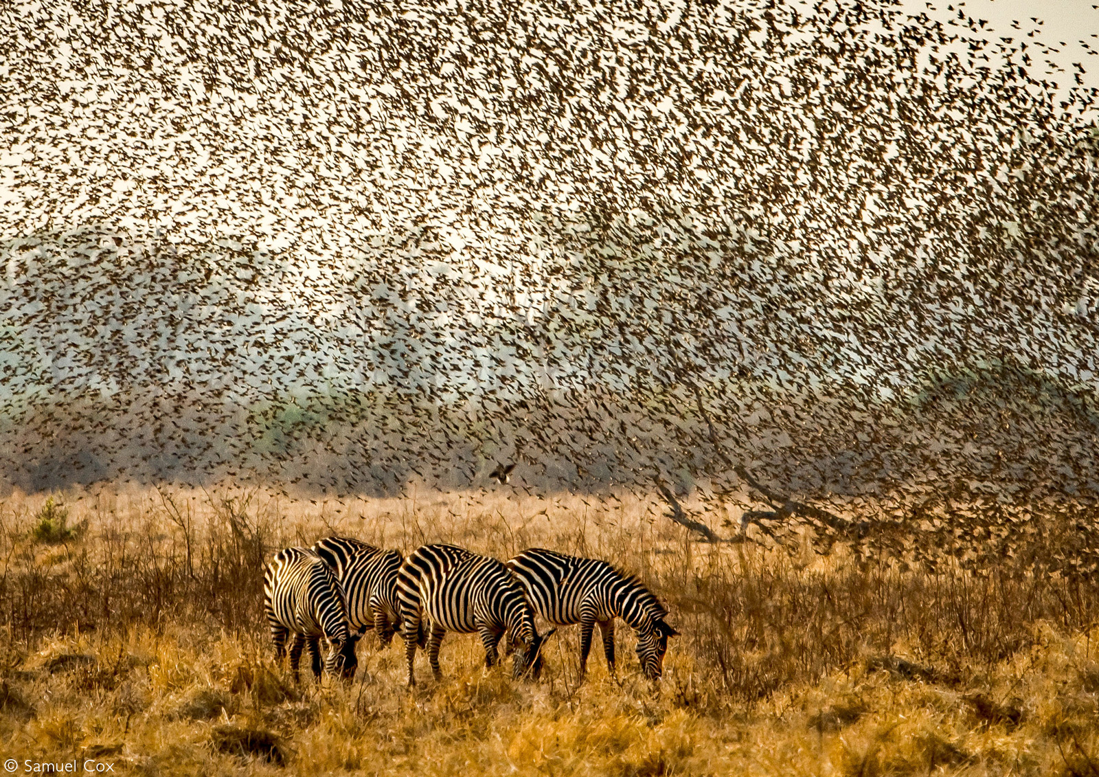 Thousands of red-billed queleas erupt and fill the skies, dwarfing the grazing zebras. South Luangwa National Park, Zambia © Samuel Cox