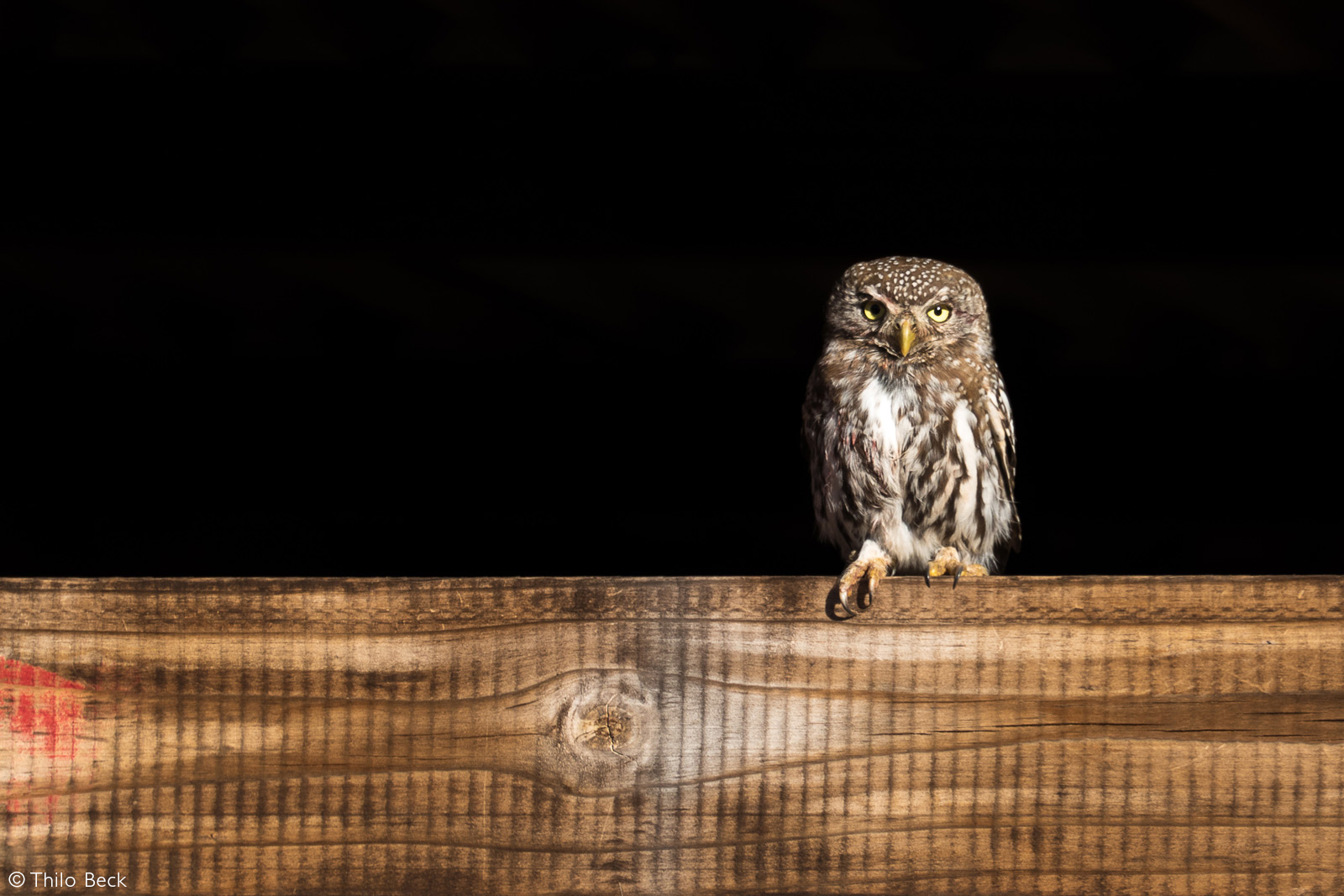 A pearl-spotted owlet enjoys the last of the sun's rays while looking out for a potential snack. It is sitting on a wooden board at Dedeben Research Center in Tswalu Kalahari Reserve, South Africa © Thilo Beck