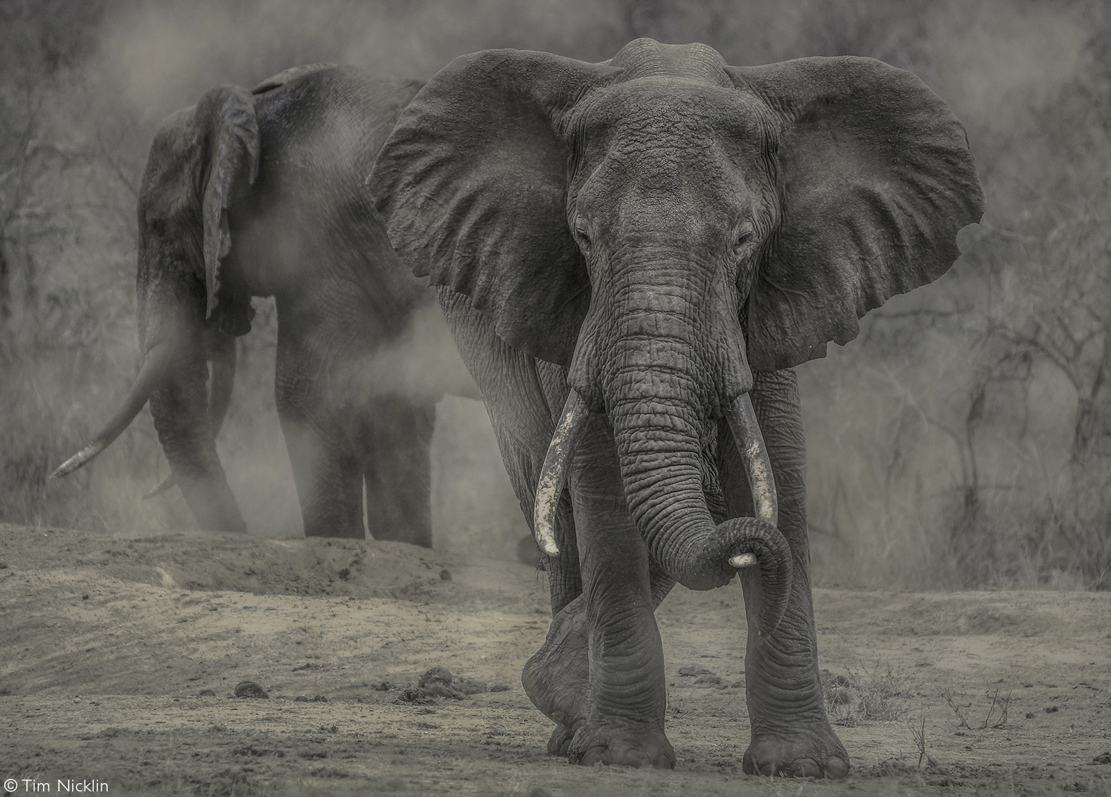 Elephants enjoy a dust bath after their drink at the waterhole. Tsavo West National Park, Kenya © Tim Nicklin