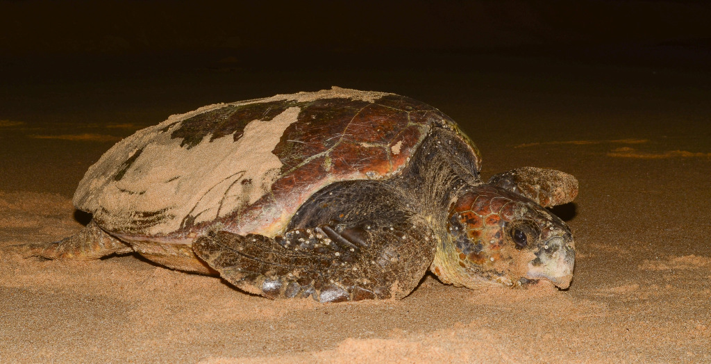 A loggerhead turtle arrives on the beach after a year at sea