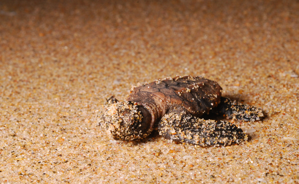 A loggerhead hatchling making its way to the sea
