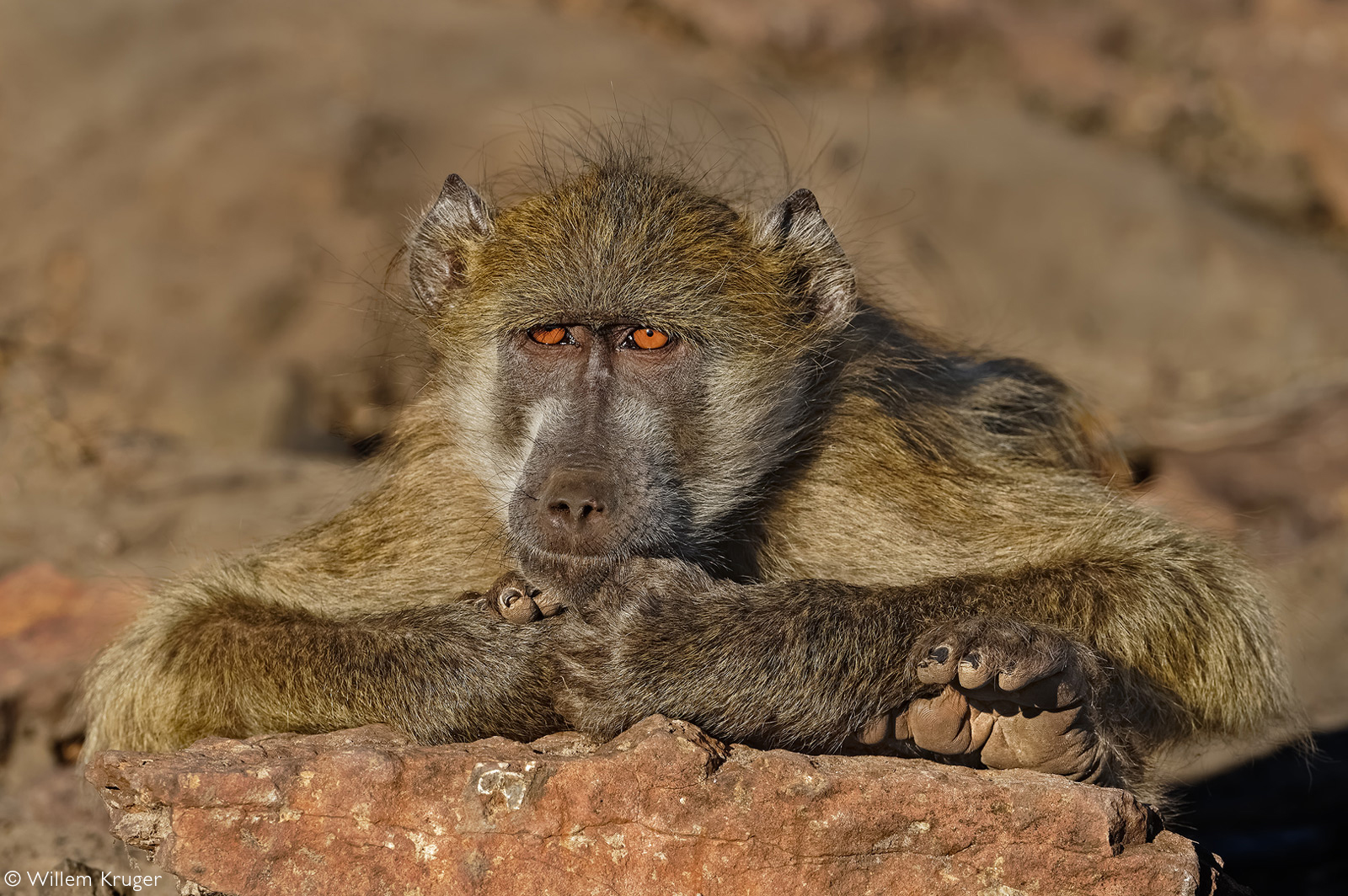 A yellow baboon relaxes on a rock by the Chobe River. Chobe National Park, Botswana © Willem Kruger