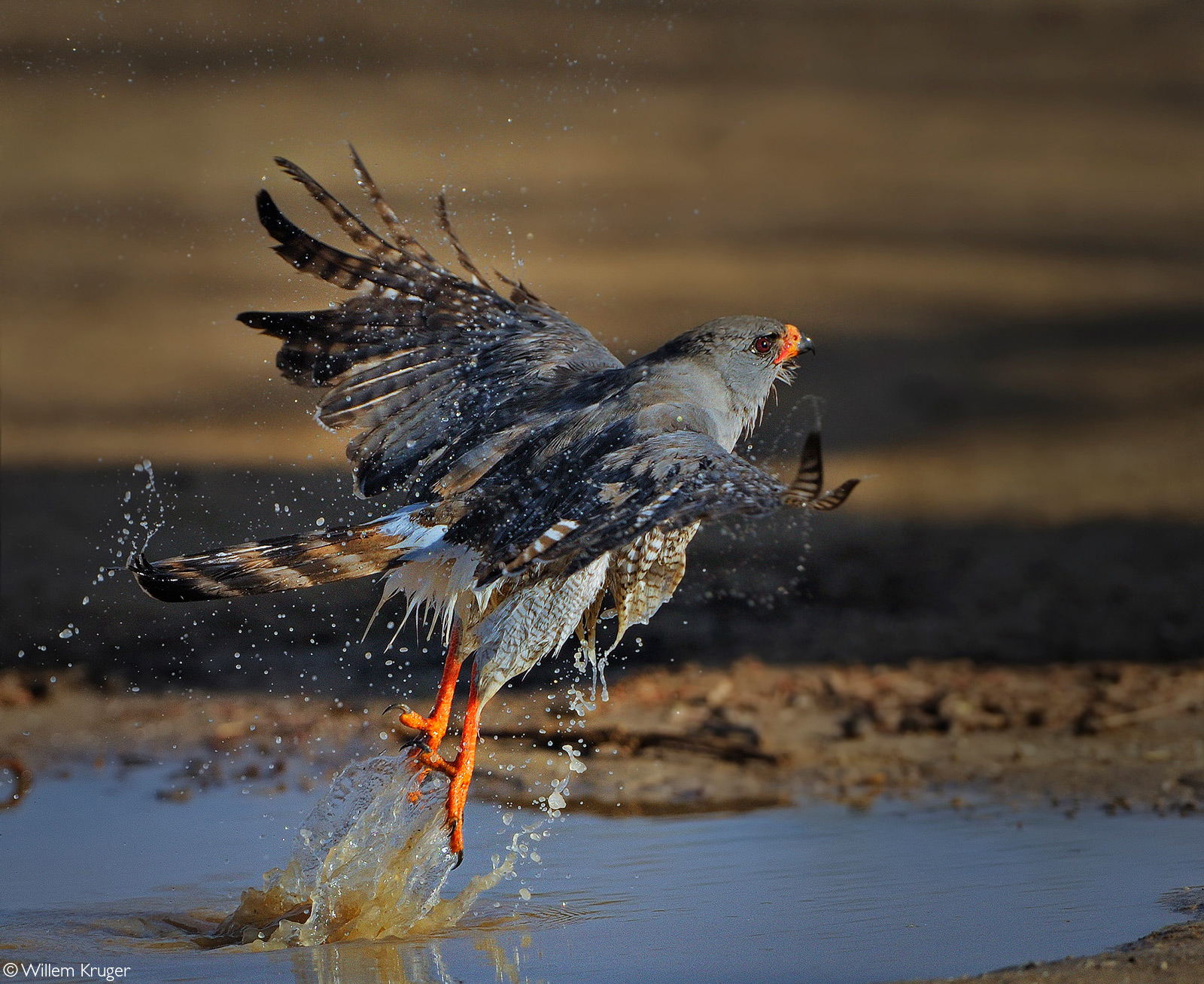 A gabar goshawk takes off after bathing at a waterhole. Kgalagadi Transfrontier Park, South Africa © Willem Kruger