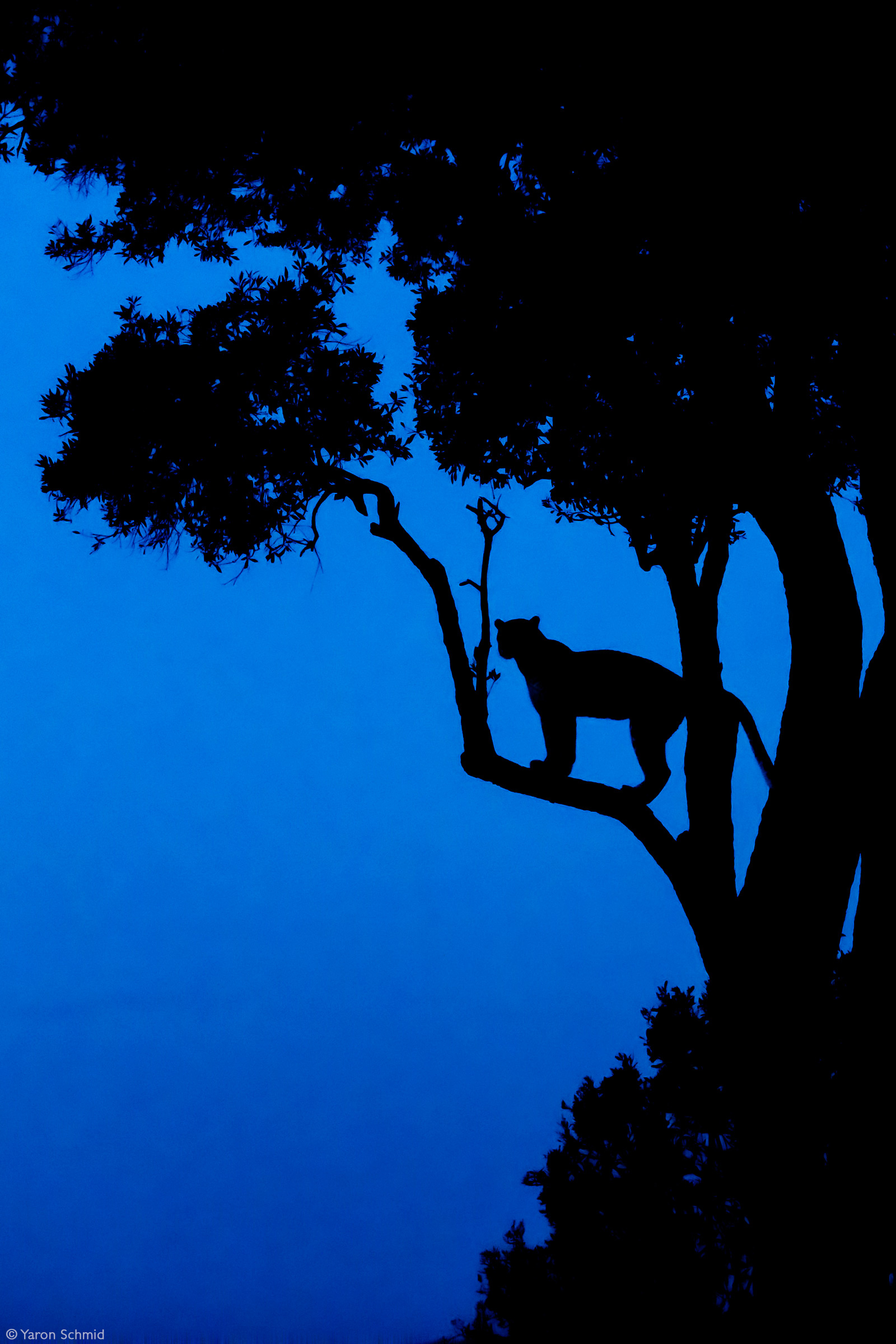 A leopardess named Fig surveying her land after sunset. Olare Motorogi Conservancy, Kenya © Yaron Schmid