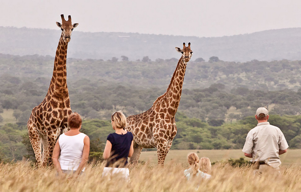 Giraffes and guests on a bush walk in the wild