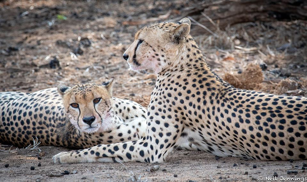 Two adult cheetahs in Greater Kruger National Park, South Africa