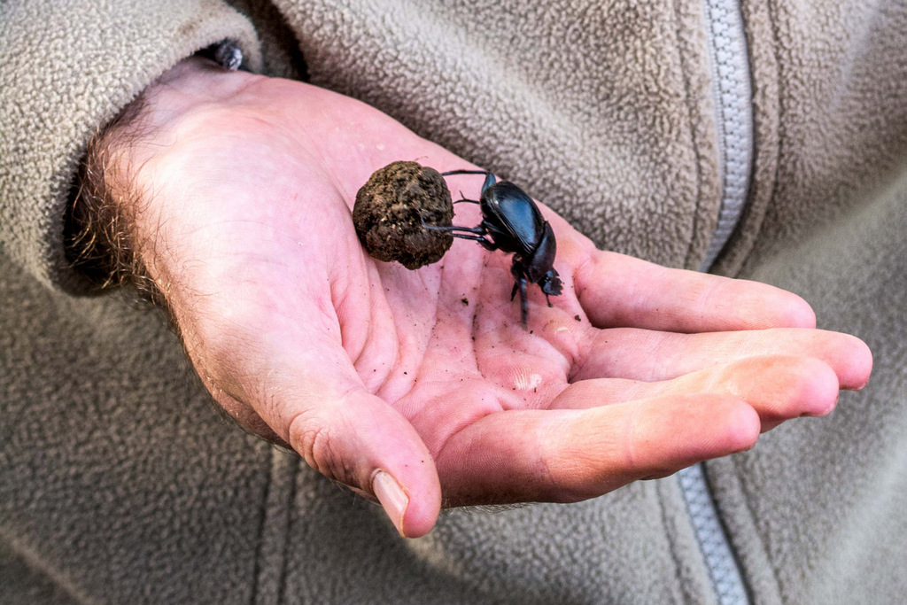 Person holding a dung beetle with a dung ball