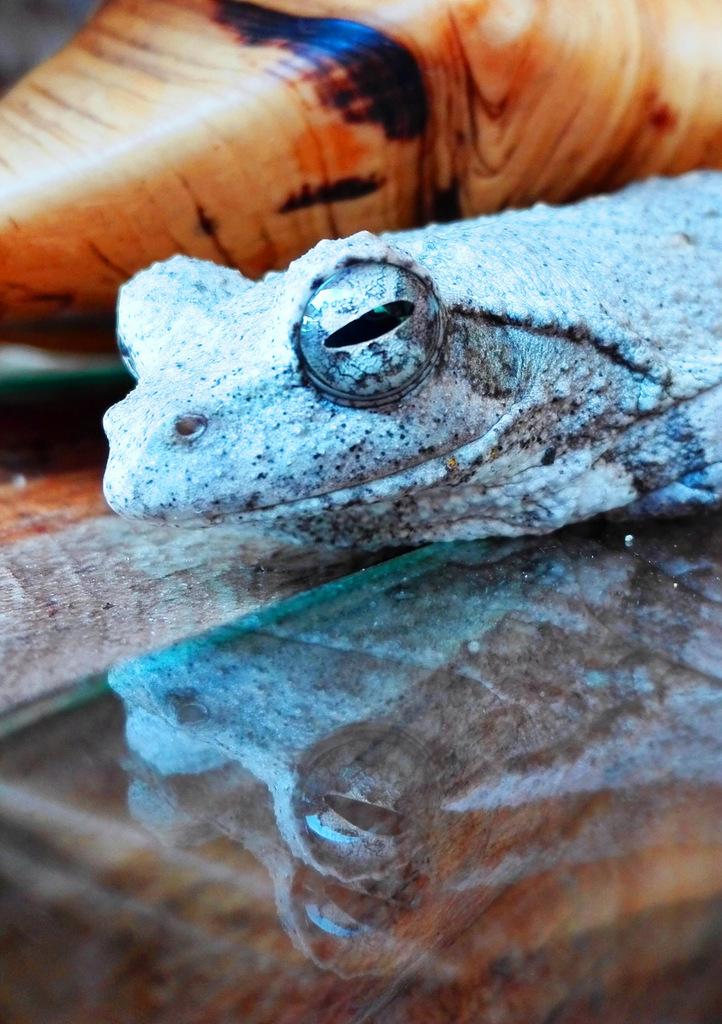 Grey foam-nest tree frog