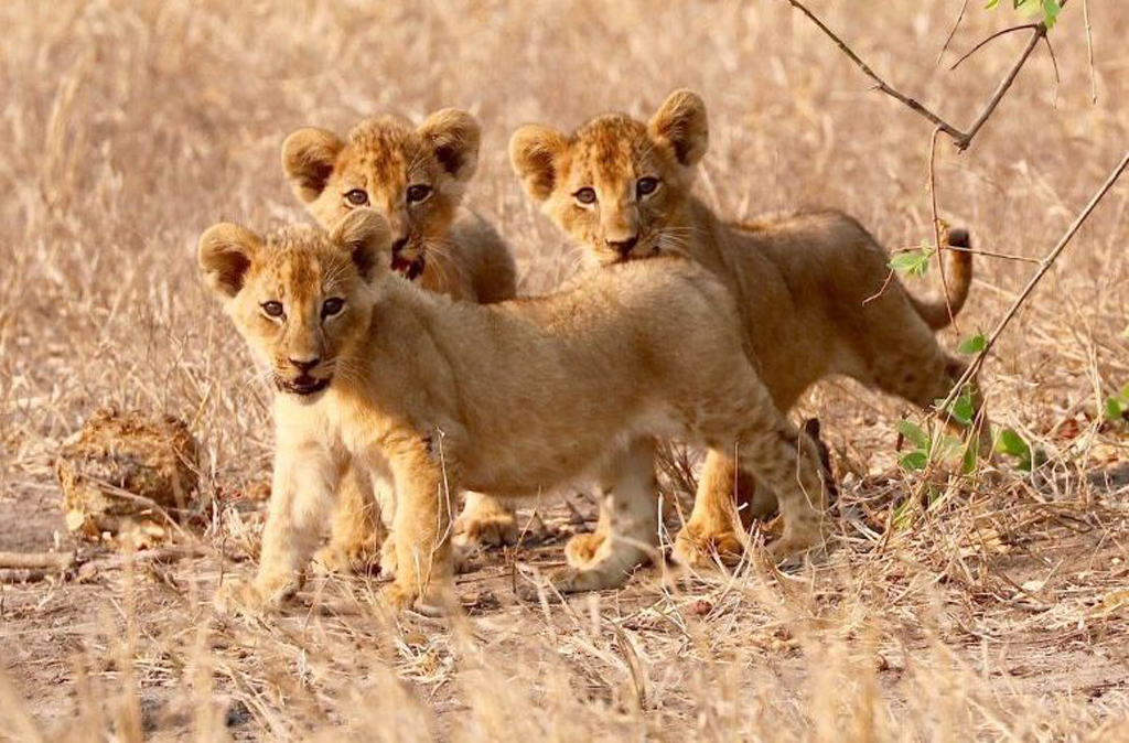 Lion cubs in Gorongosa, Mozambique