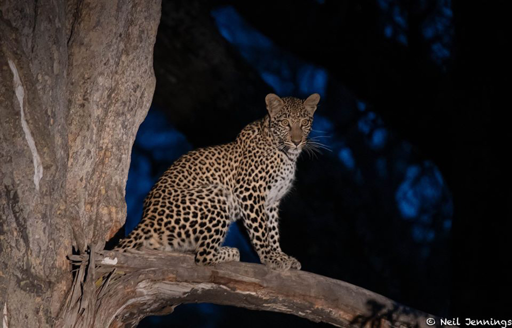 Leopard cub sitting in tree in Greater Kruger National Park, South Africa