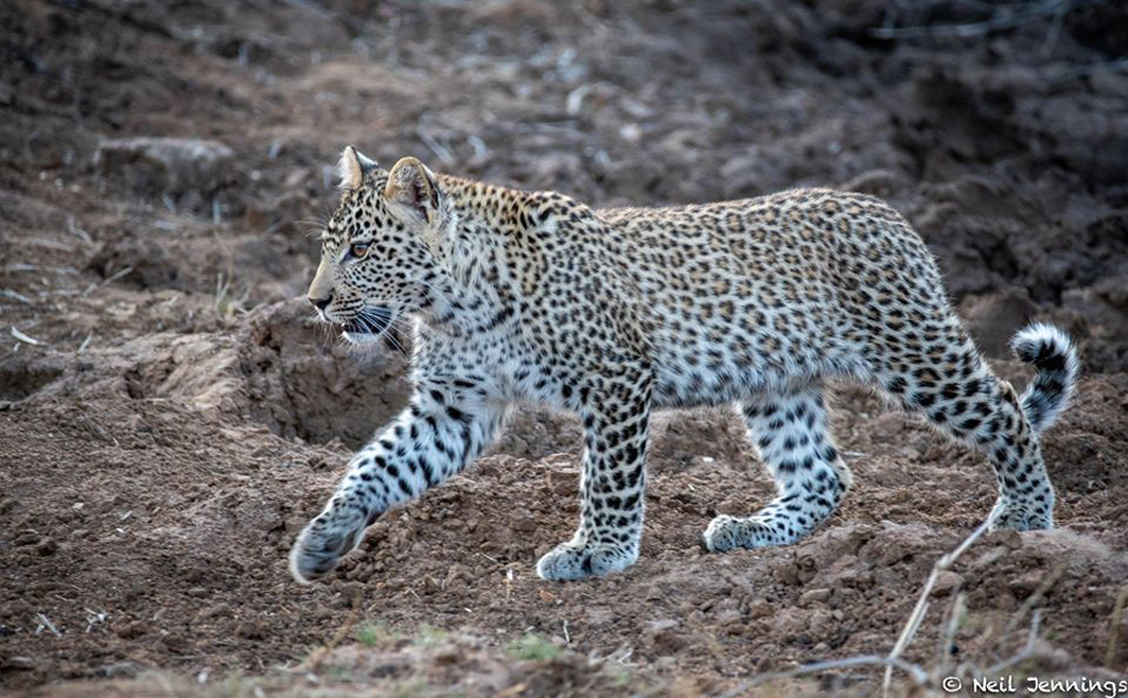 Leopard cub in Greater Kruger National Park, South Africa