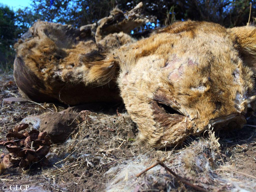 Carcass of a lion