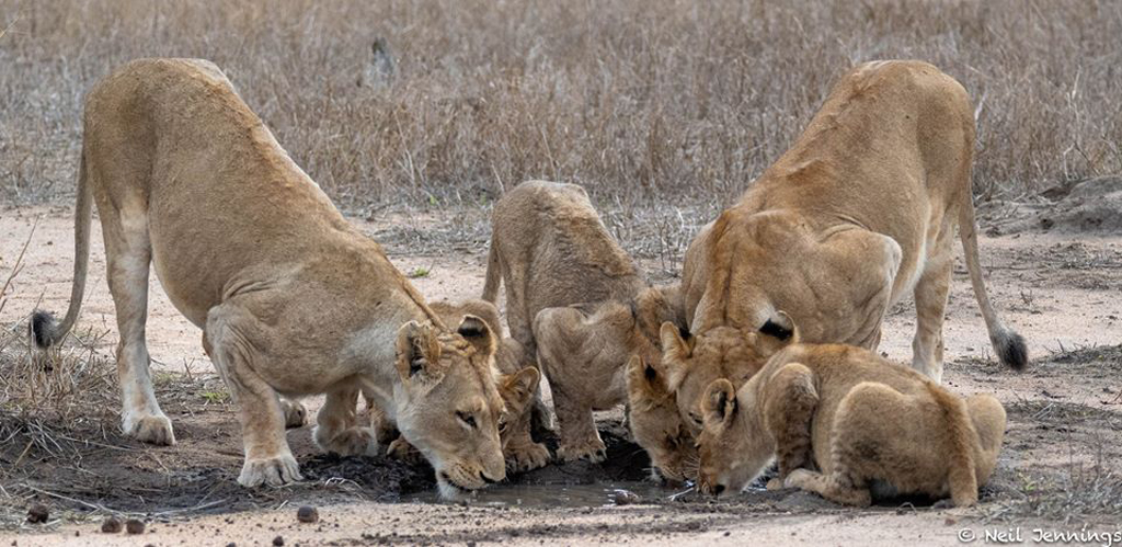 Lion pride drinking in Greater Kruger National Park, South Africa