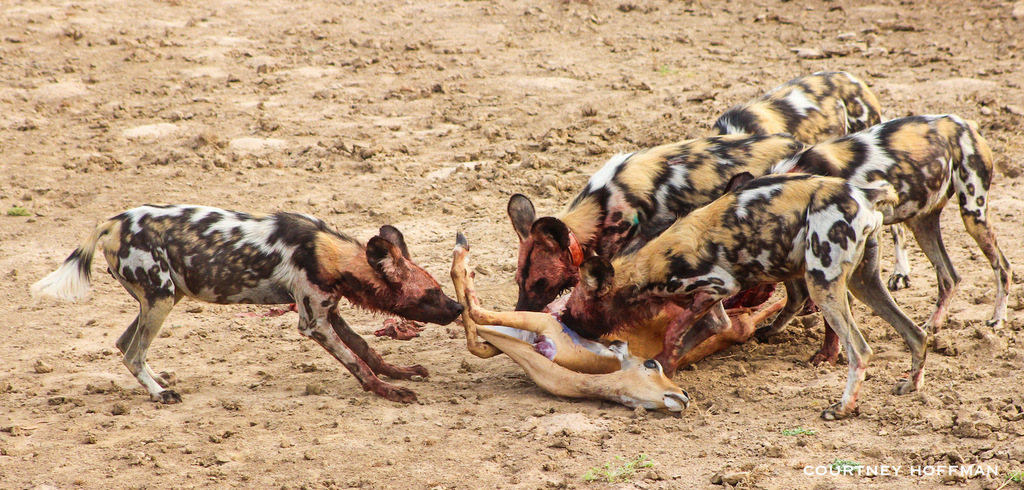 Painted wolves, African wild dogs, with impala kill in South Luangwa National Park, Zambia