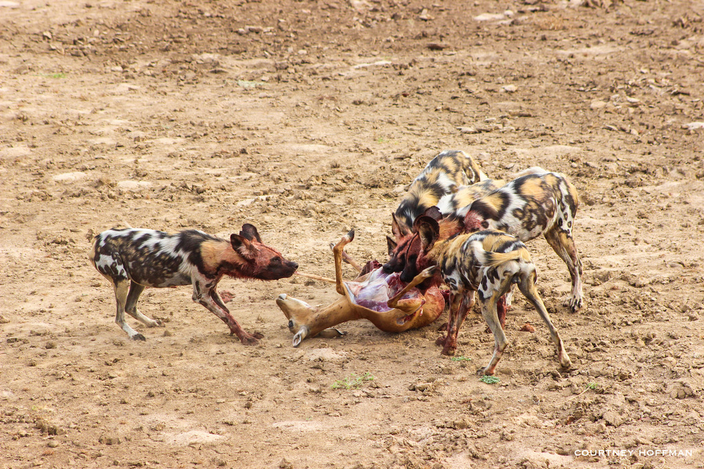 Painted wolves, African wild dogs, eating impala in South Luangwa National Park, Zambia
