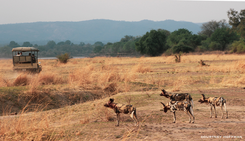 Painted wolves, African wild dogs, in South Luangwa National Park, Zambia
