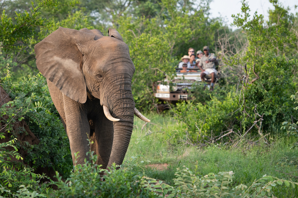 Elephant with guests watching in the background, Greater Kruger National Park, South Africa