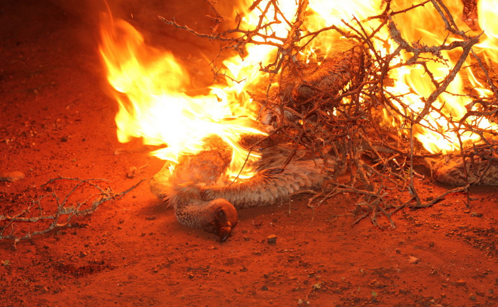 The contaminated carcass of a vulture is burnt to ash to remove the poison from the ecosystem