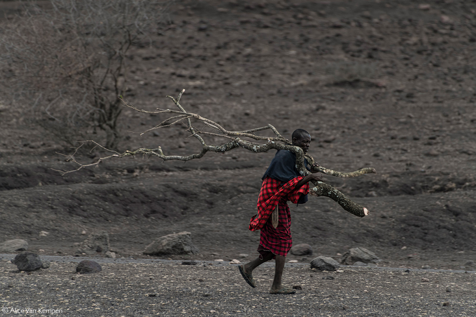 Maasai man gathering wood in a desolate landscape, near Serengeti National Park, Tanzania © Alice van Kempen
