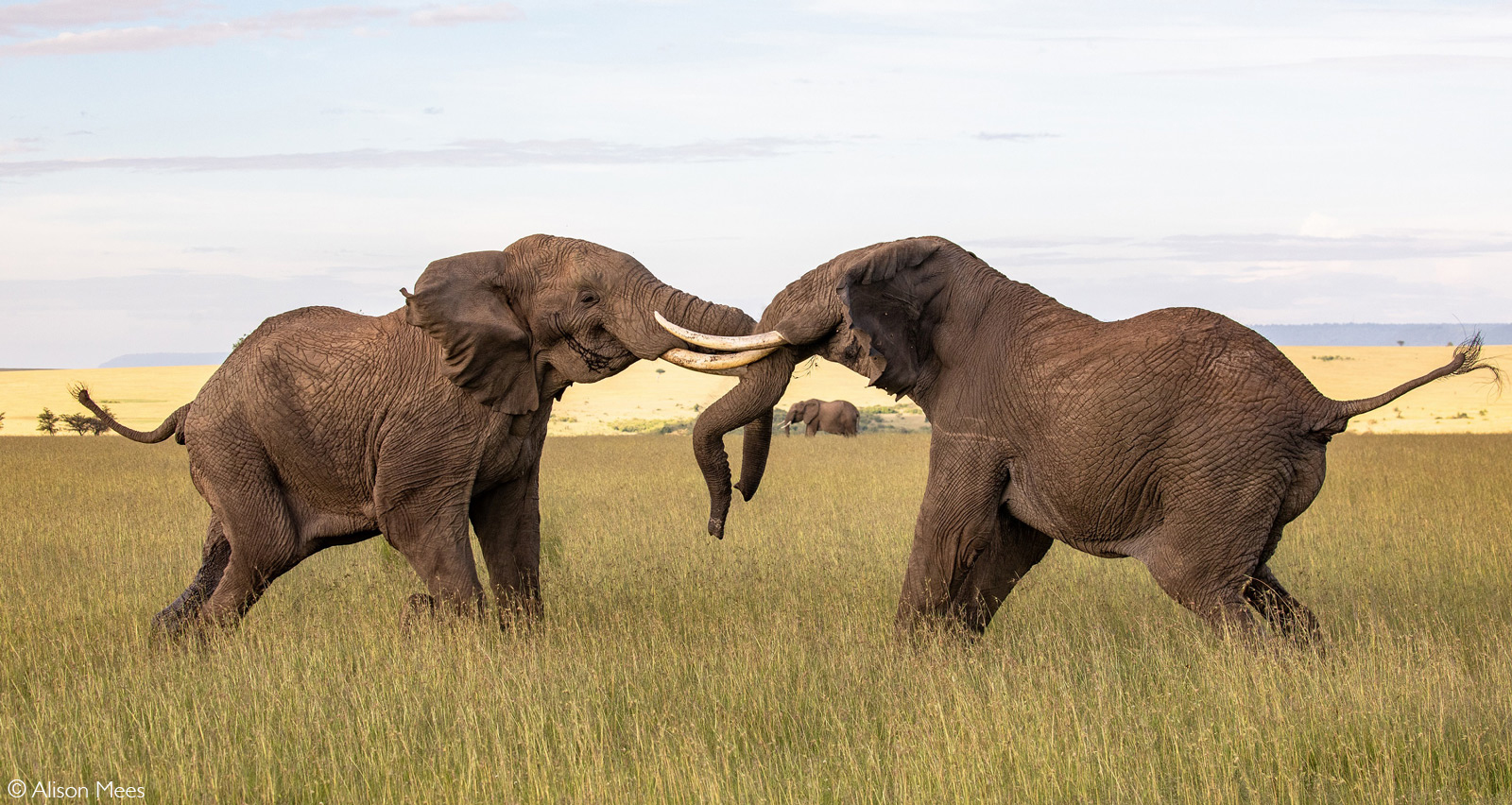Bull elephants in musth fight for dominance. This tussle lasted for over an hour. Mara North Conservancy, Kenya © Alison Mees