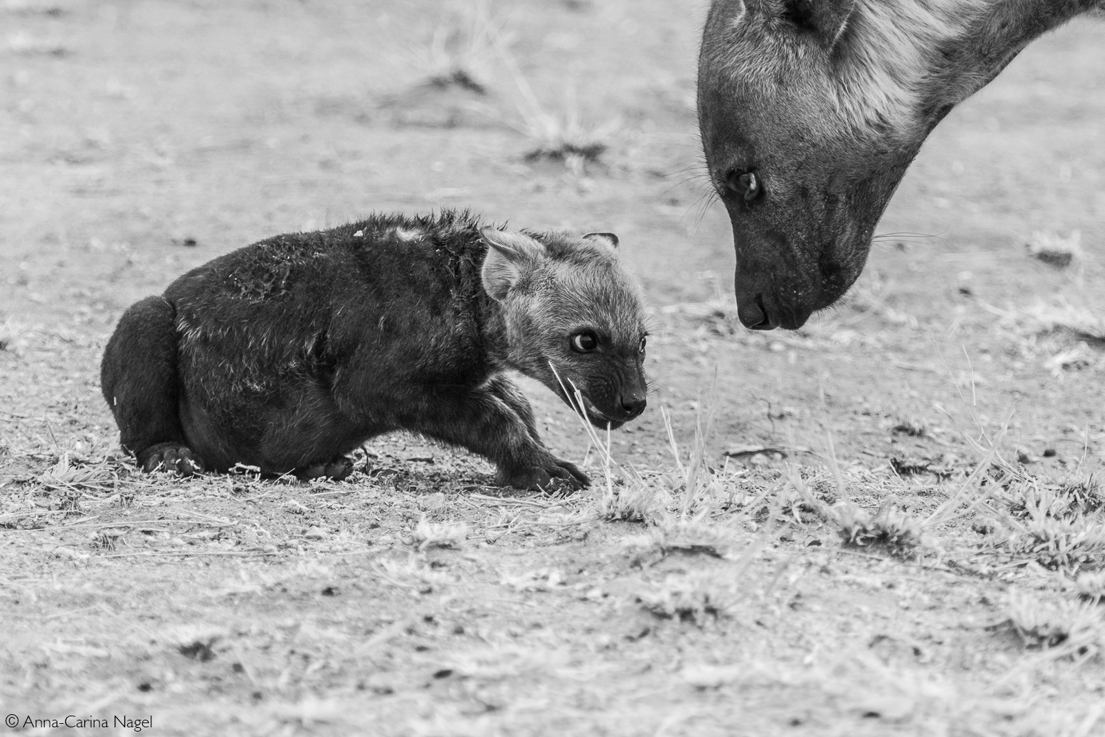 A spotted hyena attempts to get her cub into the den. Kruger National Park, South Africa © Anna-Carina Nagel