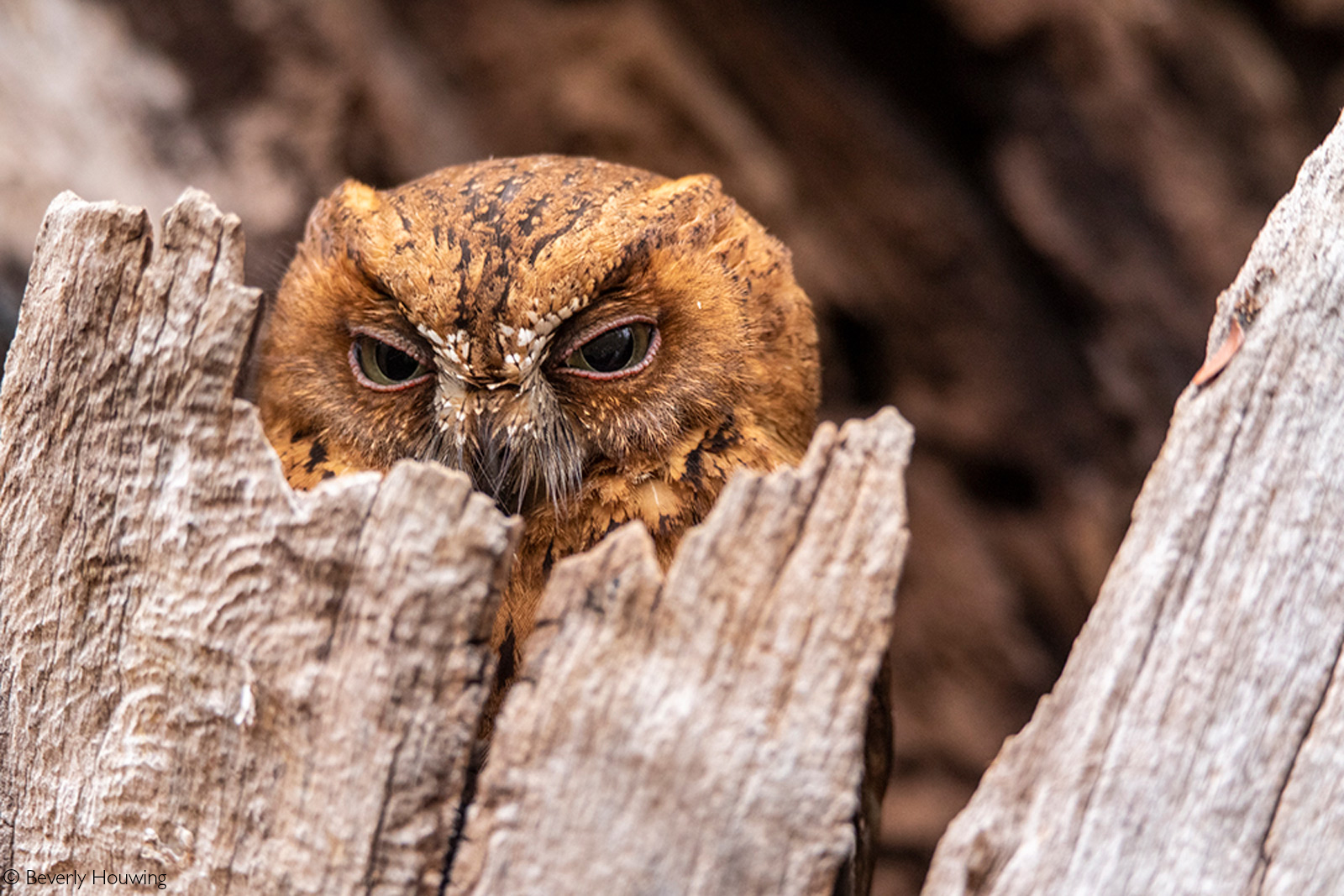 A Madagascar scops-owl. Kirindy Mitea National Park, Madagascar © Beverly Houwing