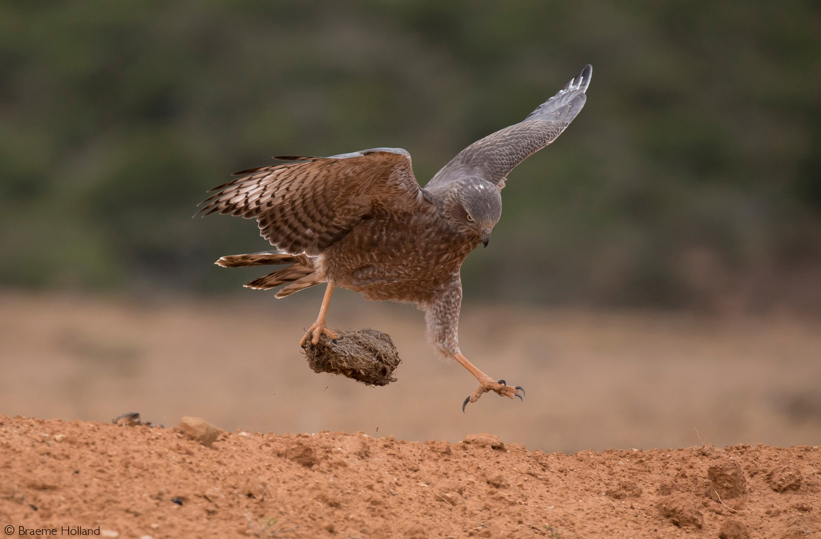 A juvenile pale chanting goshawk takes off with elephant dung, and attempts to extract worms from it. Addo Elephant National Park, South Africa © Braeme Holland