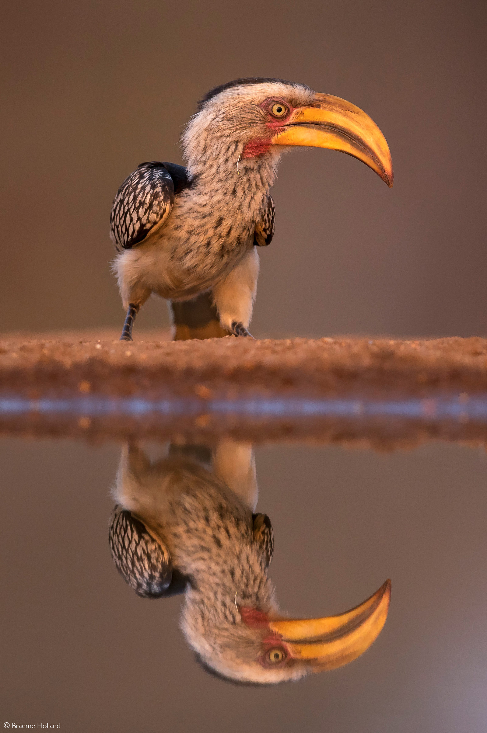 A yellow-billed hornbill displays a perfect reflection at a waterhole. Indlovu River Lodge Private Game Reserve, Greater Kruger, South Africa © Braeme Holland