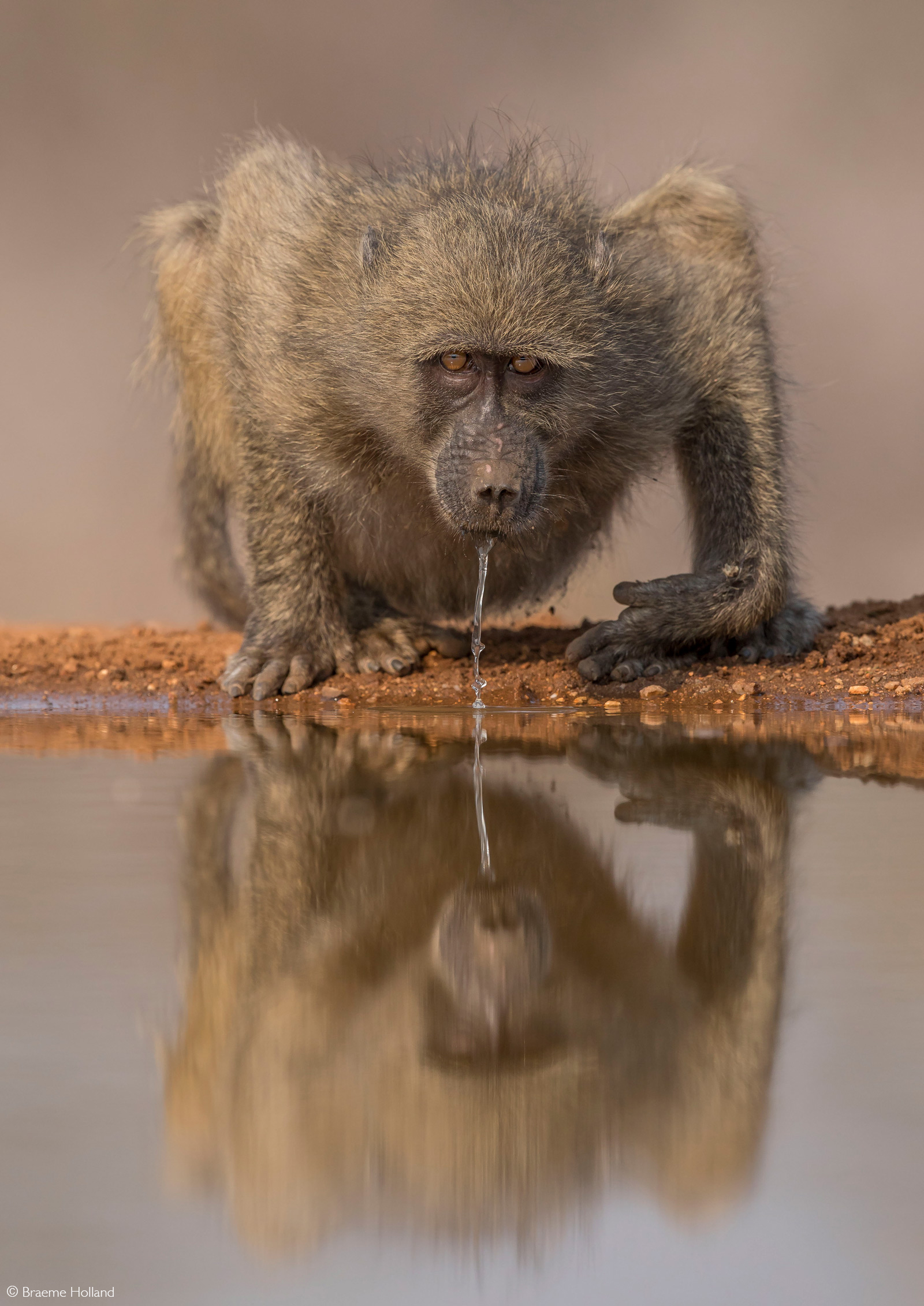A young baboon quenches his thirst at a waterhole. Indlovu River Lodge Private Game Reserve, Greater Kruger, South Africa © Braeme Holland