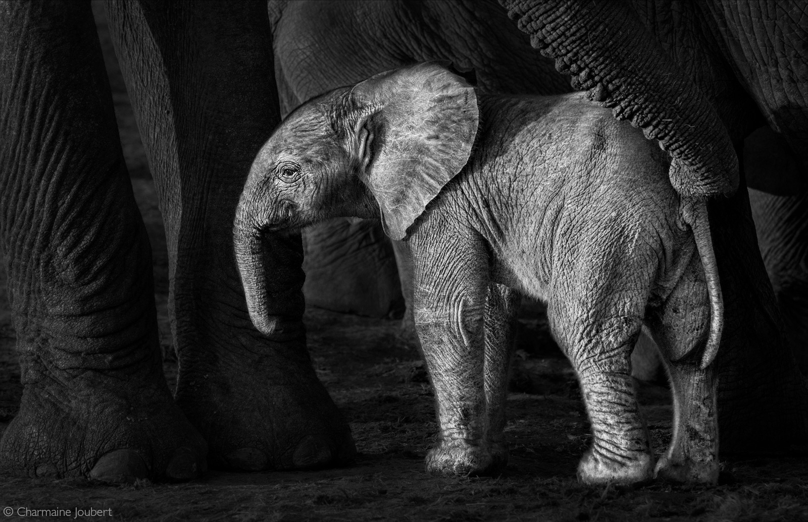An elephant calf is met by a large bull. Addo Elephant National Park, South Africa © Charmaine Joubert