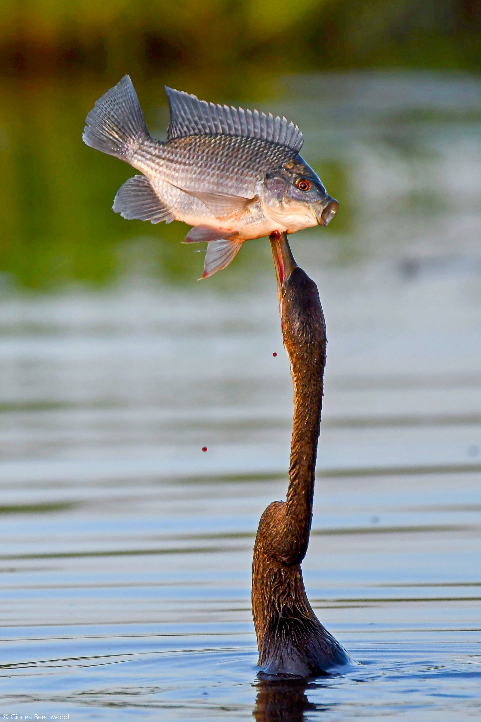 An African darter catches a fish. Chobe National Park, Botswana © Cindee Beechwood