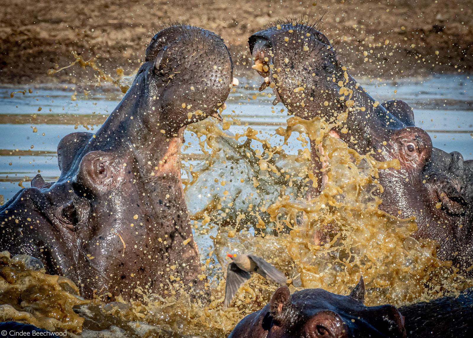 A red-billed oxpecker flees as tempers flare between hippos. Okavango Delta, Botswana © Cindee Beechwood