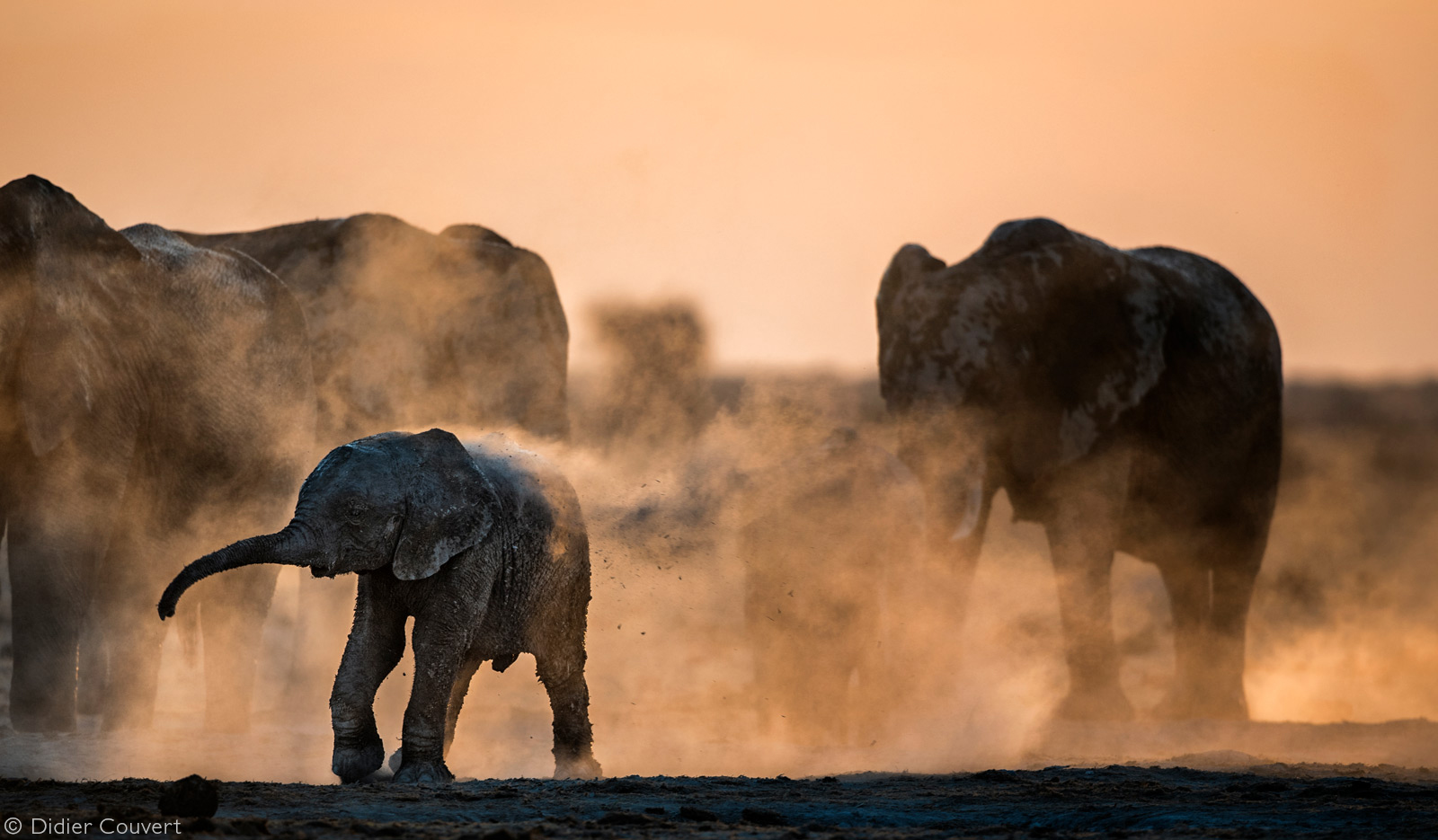 An elephant calf attempt to give itself a dust bath. Nxai Pan National Park, Botswana © Didier Couvert