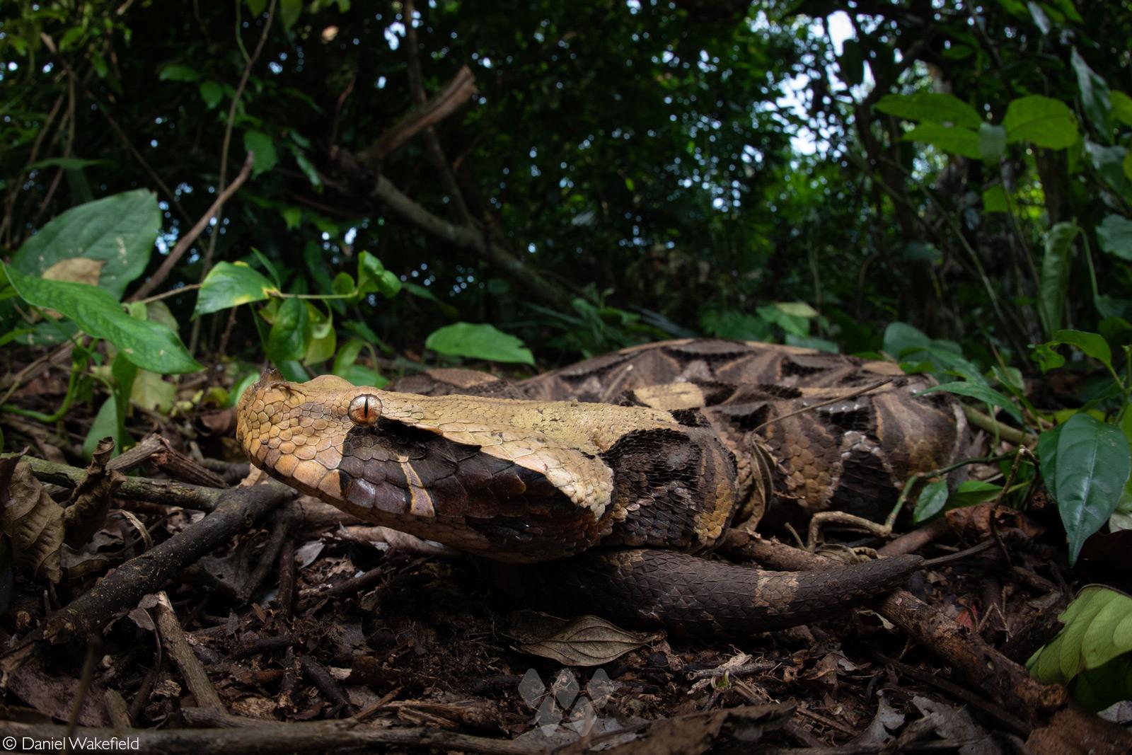 A large adult gaboon viper (Bitis gabonica) in a rainforest. West of Kampala, Uganda © Daniel Wakefield