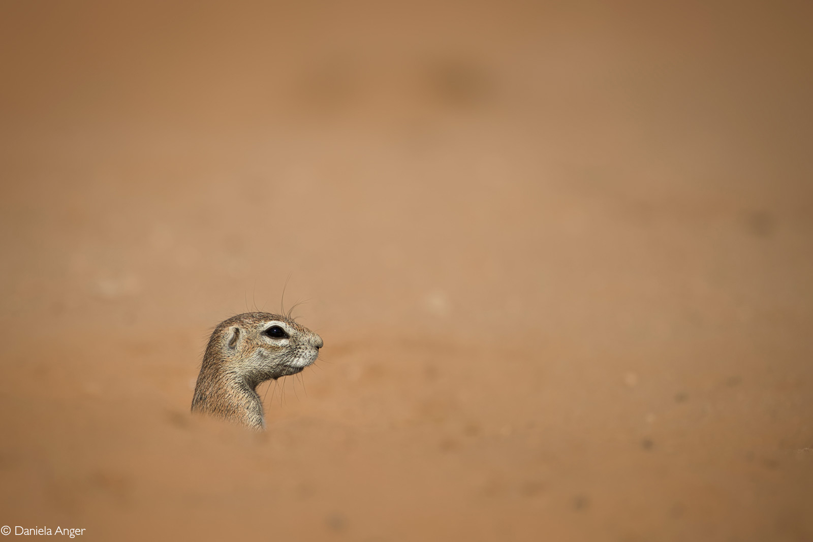 Cape ground squirrel peeking out of its burrow. Kgalagadi Transfrontier Park, South Africa © Daniela Anger